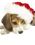 Christmas beagle Royalty Free Stock Photography