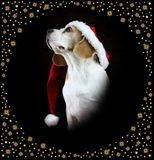 Christmas beagle dog wearing a Santa hat stock photos