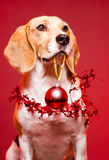 Christmas beagle. Royalty Free Stock Photo