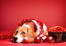 Christmas beagle. Royalty Free Stock Photography