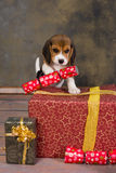 Christmas beagle puppy Royalty Free Stock Photography