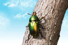 Christmas beetle. Stunning colors in the shell of a  beautiful Christmas Beetle Royalty Free Stock Image