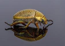 Christmas beetle Royalty Free Stock Photo