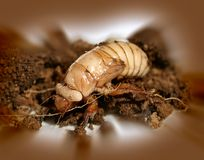 Christmas beetle larvae  Scarabaeidae Royalty Free Stock Photos
