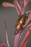 Christmas Beetle on Tasmanian Christmas Bells. Christmas Beetle (Lamprima aurata) on Tasmanian Christmas Bells (Blandfordia punicea). The flower and Beetle both stock photos