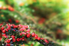 Christmas berries. Shallow dof, focus on the front center berries Royalty Free Stock Photo