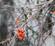 Christmas berries with snowflake kiss. Christmas berries with a snowflake kiss Royalty Free Stock Photography