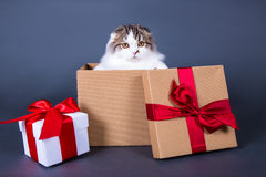 Christmas or birthday concept - cute british cat sitting in gift Royalty Free Stock Photo