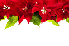 Christmas border with red poinsettias royalty free stock photo