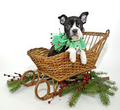 Christmas Boston Terrier Stock Photo