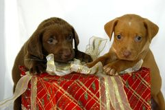 Christmas Box Pups. Two labrador retreiver pups claim their Christmas gift.  Box is red with gold and white ribbon.  One pup is almond colored and the other Stock Photography