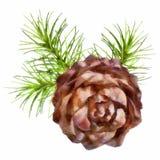 Christmas branch hanging pine cone. Christmas drawing tree branch hanging pine cone on white background Stock Photos