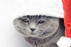 Christmas british cat in red santa hat. On white background Stock Images