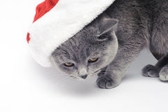 Christmas british cat in red santa hat. On white background Royalty Free Stock Images