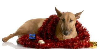 Christmas bull terrier Stock Photography