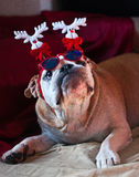 Christmas Bulldog. A cute bulldog wants to celebrate Christmas with his family Stock Photo