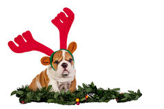 Christmas bulldog stock photography