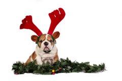 Christmas bulldog royalty free stock photos