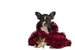 Christmas Bulldog puppy. royalty free stock photo