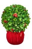 Christmas bush decor centerpiece isolated on white background. Boxwood Sphere Arrangement. Red velvet pot Royalty Free Stock Image