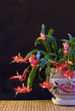 A Christmas cactus. Royalty Free Stock Photo