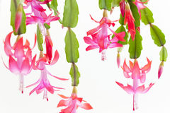 Christmas cactus Royalty Free Stock Image