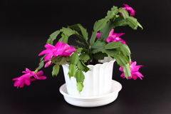 Free Christmas Cactus Stock Photo - 22342430