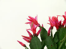 Christmas Cactus Stock Photography