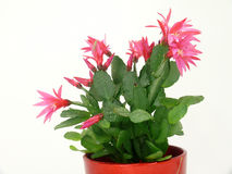 Christmas Cactus Stock Images