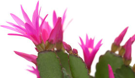 Free Christmas Cactus Royalty Free Stock Images - 39719649