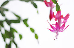 Christmas Cactus stock image