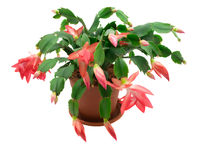 Christmas cactus. On a white background Stock Image