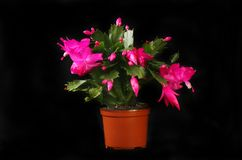 Christmas cactus against black stock images