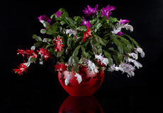 Christmas Cactus aka Schlumbergera Flower. Schlumbergera flower pot on black background Stock Images