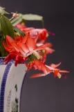 Christmas cactus Stock Photos