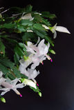 Christmas cactus on black Stock Images
