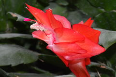 Christmas Cactus bloom. In December Stock Photos