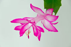 Christmas Cactus Bloom. Christmas cactus flower against white background Royalty Free Stock Photography