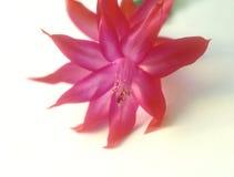 Christmas Cactus. Stock Image