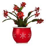 Christmas Cactus Royalty Free Stock Photography