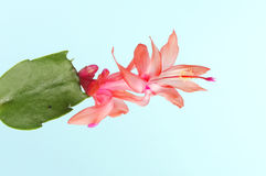 Christmas cactus flower royalty free stock images