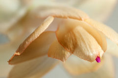 Christmas cactus flower Stock Images