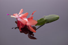 Christmas cactus flower. Royalty Free Stock Photos
