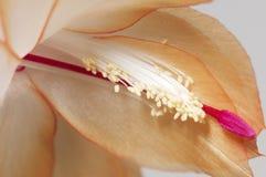 Christmas cactus flower Royalty Free Stock Photo
