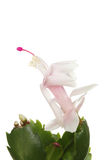Christmas cactus flower stock photos