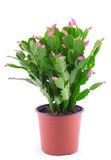 Christmas Cactus isolated on white Stock Photography
