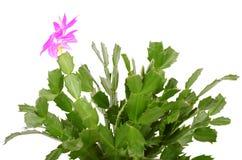 Christmas cactus isolated on white Stock Image