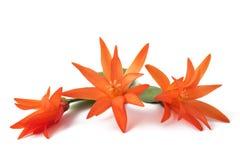 Christmas Cactus flowers stock photos