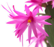 Christmas Cactus Royalty Free Stock Photos