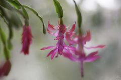 Christmas cactus with pink flowers blooming in december royalty free stock photography